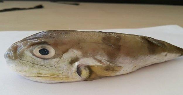Bu Balık Kansere Çare Olacak