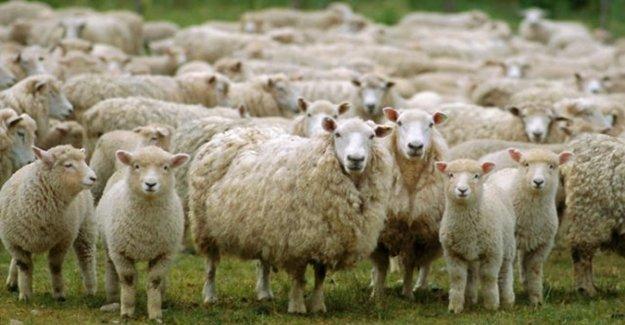 Çoban Uyuyakalınca Kenti Ele Geçirdiler!
