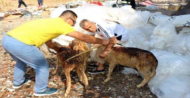 Koyunlar Hurdalıkta Yanmaktan Kurtarıldı