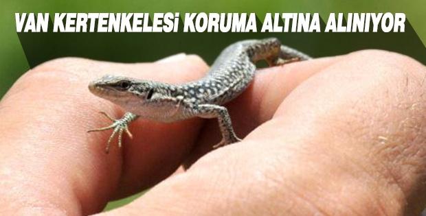 VAN KERTENKELESİ KORUMA ALTINA ALINIYOR